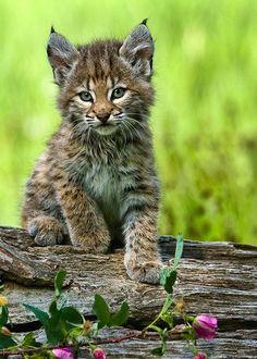 Lynx Kitten Posing  Leaping Bunny Pinterest Giveaway #animalsarebeautiful #DesertEssence #LeapingBunny