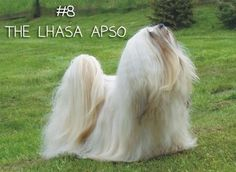 """Don't let their beautiful figures and tiny majesty fool you: <a href=""""http://www.akc.org/breeds/lhasa_apso/index.cfm"""" target=""""_blank"""">These pups</a> were bred by Tibetan monks to be watch dogs. Their lovely locks conceal a lionheart that is extremely protective of those they love. Also mischievous and stubborn, Lhasa's like doing what THEY like to do...not necessarily what you want them to do."""