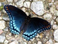 A red-spotted purple