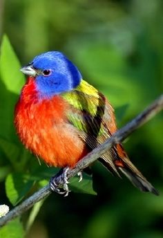 painted bunting - I will never forget the first time I saw one of these in Midland, TX