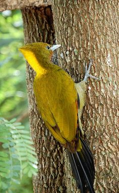 Greater Yellownape - SE Asia
