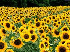 Sunflowers - August and September
