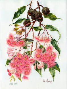 Eucalyptus ficifolia paradalote - Helen Fitzgerald