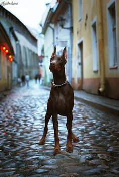 The Doberman Pinscher is among the most popular breed of dogs in the world. Known for its intelligence and loyalty, the Pinscher is both a police- favorite Doberman Puppies For Sale, Doberman Love, Dogs And Puppies, Corgi Puppies, Doggies, Love My Dog, Weimaraner, Doberman Pinscher Dog, Service Dogs