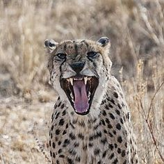 Marlike Marks | Afrika | Cheeta