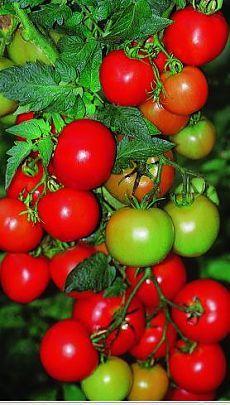 Универсальная подкормка для созревания помидоров