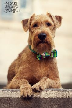 Irish terrier - the best dog breed