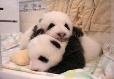 PANDA. Babies.