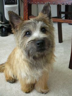 Pictures of Cairn Terrier Dog Breed Cairn Terrier Puppies, Terrier Dog Breeds, Cairns, Big Dog Toys, Dog Collar Tags, Cool Dog Houses, Norwich Terrier, Military Dogs, Raining Cats And Dogs