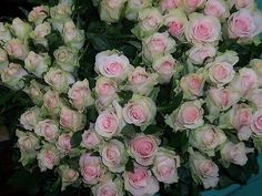 10 RARE Dancing Queen Rose Seeds. USA Seller! FREE Shipping!