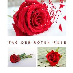 𝑻𝒂𝒈 𝒅𝒆𝒓 𝒓𝒐𝒕𝒆𝒏 𝑹𝒐𝒔𝒆 Die Rose ist nicht nur äußerlich wunderschön, sondern sorgt auch für unsere Schönheit und Gesundheit!  Die Wirkung der Rosenblätter ist schon seit der Antike bekannt: das in den Blütenblättern enthaltene ätherische Öl wirkt stimmungsaufhellend, anregend, gegen Entzündung der Bronchien, Migräne und Kopfweh, allgemein schmerzlindernd, und ist natürlich auch ein hervorragendes Hautpflegeöl! Das ist nur ein kleiner Teil der Wirkung von Rosenöl… Instagram Posts, Flowers, Plants, Red Roses, Antiquities, Health, Nice Asses, Plant, Royal Icing Flowers