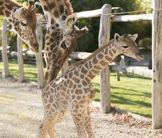 Naissance surprise chez les girafes au Zoo de la Flèche
