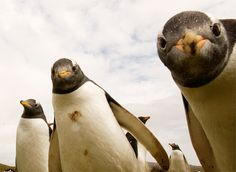 Gentoo Penguins. Very curious and also adorable.