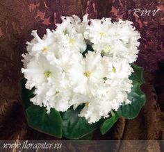 EC-The White Queen (She) (ЕК-Белая Королева / (Коршунова)) - Huge (7 cm) semi-double and double wavy rounded white, very beautiful stars. The sharp green leaves.