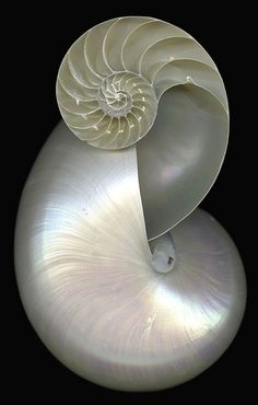Double Nautilus shell ~ You can't improve on perfection of design ~ Foto Macro, Fibonacci Spiral, Shell Collection, Nautilus Shell, Shell Art, Patterns In Nature, Ocean Life, Sea Creatures, Sacred Geometry