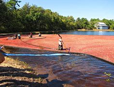 NJ Cranberry Harvest...(looks like the TV commercial a bit)