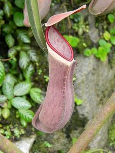 White-Collared Pitcher Plant (Nepenthes albomarginata) spotted by JJ_Andin