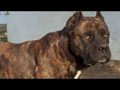 Alano Español - Ancient Spanish Bulldog - Review - YouTube