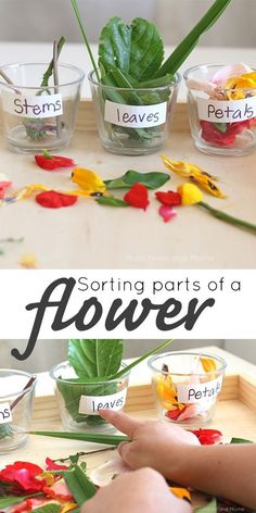 Parts of a Flower - Munchkins and Moms Sorting parts of a flower- a great hands-on preschool lesson and a sensory rich experience!Sorting parts of a flower- a great hands-on preschool lesson and a sensory rich experience! Preschool Garden, Preschool Themes, Preschool Lessons, Science Lessons, Science For Kids, Classroom Activities, Preschool Crafts, Toddler Activities, Learning Activities