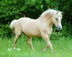 Beautiful Estonian horse in the lightest shade of palomino, called isabella by many. photo: Rozpravka.