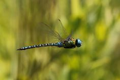 Having flown the earth for 300 million years, Dragonflies symbolize our ability to overcome times of hardship. Sighting a dragonfly is to remind us to reconnect with our own strength, courage, grace, and happiness.