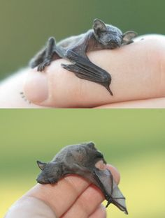 Baby bat-all God's creatures are beautiful....though I'm still working on spiders and snakes...