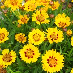 Coreopsis, also known as tickseed, produces scores of sunny yellow flowers in summer months. 'Domino', pictured here, has a mahogany band near the center of the bloom. Pluck off spent blooms to prevent seed formation and to keep the plant blooming profusely.