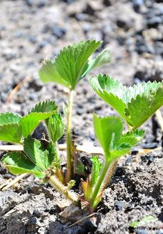 Life At Cobble Hill Farm: Strawberries are coming!