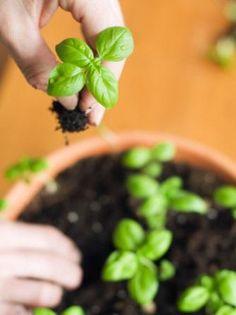 Como plantar hortelã - 10 passos