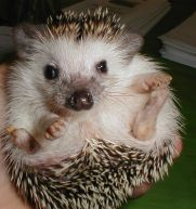 LOOK AT THAT LITTLE BOOZA   Hedgehog website with pictures, care tips and more