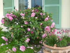 rosa del mio giardino