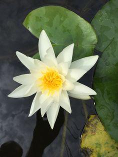 Helaas bloeit deze waterlelie bloem maar 2 dagen