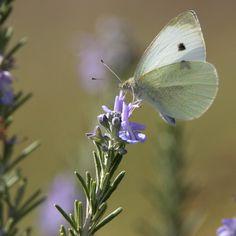 Passear pelo campo é sinónimo de contemplar os voos ondulantes das borboletas. Esta é a borboleta-da-couve (Pieris rapae) e é comum observá-la nos nossos jardins. 🦋🌻  #herdadedosgrous #butterfly #wildlife #nature #alentejo #portugal #summer