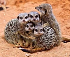 OK, first look at this family of meerkats. They love each other and they protect each other, as you can see from this photograph. | Can You Make It Through This Post Without Squealing?