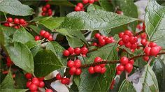 Winterberry's Spectacular Fall Fruit