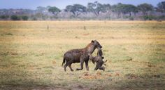Hyena eating a baby elephant, Savuti. Photo by Marie-Soleil Le Houillier