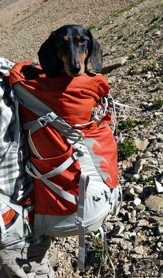 Riding in style up Mt. Sherman, CO @ospreypacks #Adventurewiener