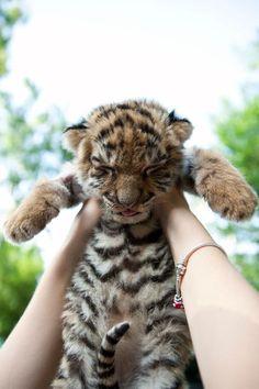 Cría de tigre, lindo