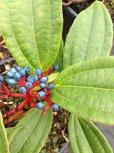 Electric blue berries on our Viburnum Davidii