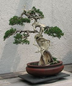 This juniper bonsai makes extensive use of both jin (deadwood branches) and shari (trunk deadwood) Bonsai Tree Types, Indoor Bonsai Tree, Mini Bonsai, Bonsai Pruning, Bonsai Garden, Ikebana, Foto Nature, Dwarf Trees, Plantas Bonsai