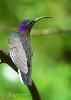 Violet Sabrewing by J.P. Lawrence Photography