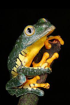 ✿ Peruvian Leaf Frog, Cruziohyla craspedopus ~ By Brad Wilson ✿