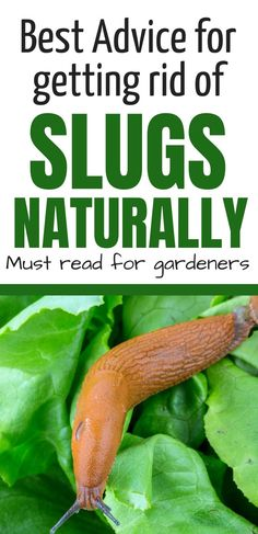 Get rid of slugs from your backyard garden with these natural ideas and tips.  Stop slugs from eating your lettuce and hosta leaves with beer traps, copper wire barriers, and more.  #slugs #slugsinthegarden #getridofslugs #howtogetridofslugs #gardening Slugs In Garden, Snails In Garden, Garden Insects, Garden Pests, Getting Rid Of Slugs, Lawn Care Tips, Backyard Vegetable Gardens, Eating Vegetables, Backyard For Kids