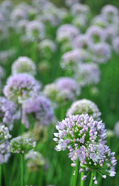 Allium Senescens  by guybamboe, via Flickr