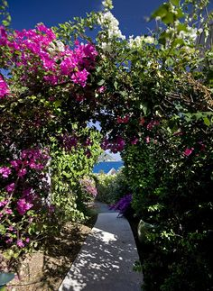 The BVI Bougainvillea flowers lining the paths at Frenchmans Resort