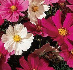 Cosmos Sensation Mix  Cosmos Seeds  Beautiful by thegardenstudio, $1.75