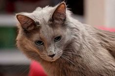 Turkish Angora cat information, pictures.Turkish Angora cats are happy to play, equally happy to relax and not particularly demanding of time. Turkish Angora Cat, Angora Cats, Flea Shampoo For Cats, Toxic Plants For Cats, What Cats Can Eat, Teacup Cats, Herding Cats, Cat Sweaters, Maine Coon Cats