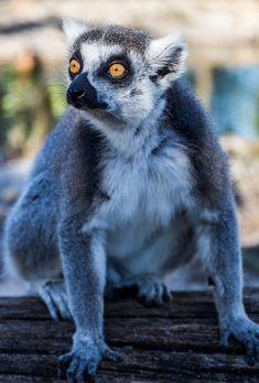 Lemurs at the Safari