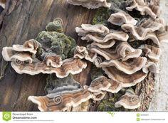 Tronc d arbre couvert de champignon
