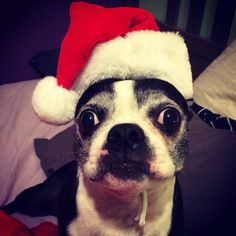 Santa Paws is coming?!? - Lelo, the Boston Terrier